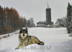 """Das Beweisfoto erreichte uns soeben. Es entstand direkt am zukünftigen """"Wolf-Gang"""". Das Gebiet um die Hohe Bracht zählt bereits zu den Wolfsrevieren."""